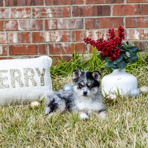 Available Puppies Available Puppies DSC 0716 300x300
