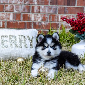 Available Puppies Available Puppies DSC 0814 300x300