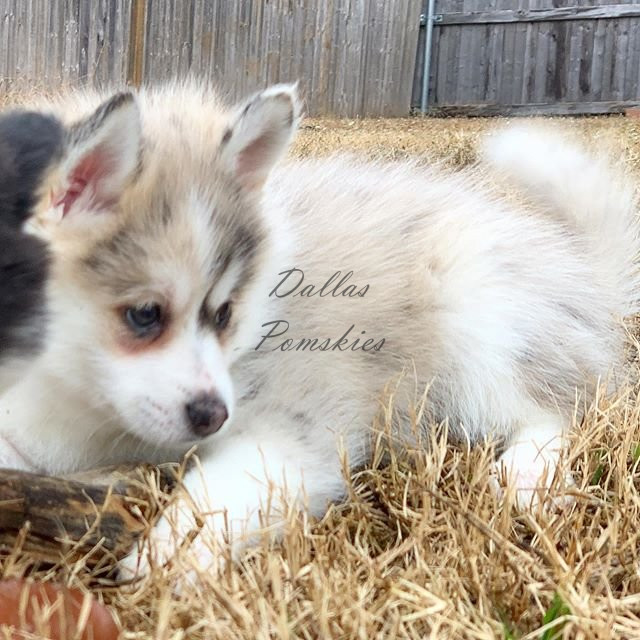 image from Dallas Pomskies  @brady_da_pomsky as a wee little bebe!? . . #pomsky #pomskies #pomskys #pomskypuppy #pomskypuppies #pomskybreeder #dallaspomskies #merle #bluemerle #merlepomsky #husky #pomeranian #dogsofinstagram #dogsofig #puppies #puppiesofinstgram #dallas #tx #texas #merlepuppy #blueeyes #blueeyedpuppy #cuddle #puppiesforsale #pomskypuppiesforsale 87894145 147387646733862 1738895183172851288 n