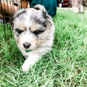 Available Puppies Available Puppies IMG 2542 300x300