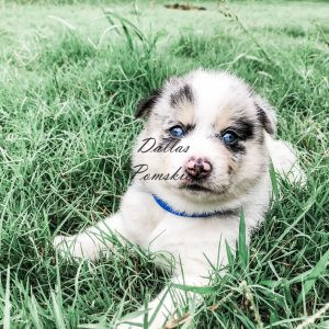 Available Puppies Available Puppies IMG 2554 300x300