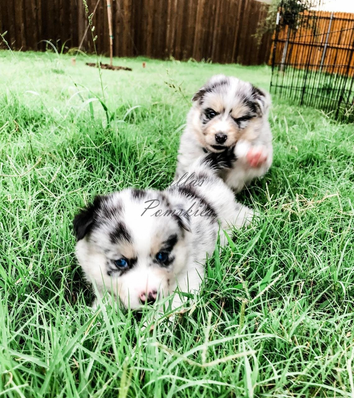 TAG, you're it! . . #pomsky #pomskies #pomskys #pomskypuppy #pomskypuppies #pomskybreeder #dallaspomskies #merle #bluemerle #merlepomsky #husky #pomeranian #dogsofinstagram #dogsofig #puppies #puppiesofinstgram #dallas #tx #texas #merlepuppy #blueeyes #blueeyedpuppy #cuddle #puppiesforsale #pomskypuppiesforsale TAG, you're it! . . #pomsky #pomskies #pomskys #pomskypuppy #pomskypuppies #pomskybreeder #dallaspomskies #merle #bluemerle #merlepomsky #husky #pomeranian #dogsofinstagram #dogsofig #puppies #puppiesofinstgram #dallas #tx #texas #merlepuppy #blueeyes #blueeyedpuppy #cuddle #puppiesforsale #pomskypuppiesforsale 118948242 3133303330056299 7690187761298988976 n