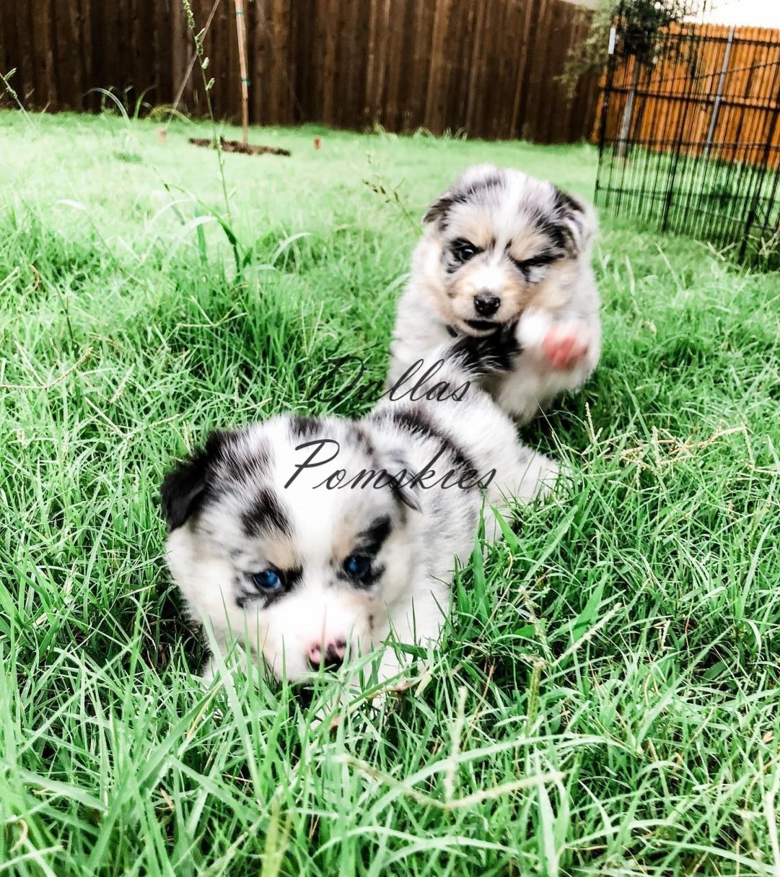 TAG, you're it! . . #pomsky #pomskies #pomskys #pomskypuppy #pomskypuppies #pomskybreeder #dallaspomskies #merle #bluemerle #merlepomsky #husky #pomeranian #dogsofinstagram #dogsofig #puppies #puppiesofinstgram #dallas #tx #texas #merlepuppy #blueeyes #blueeyedpuppy #cuddle #puppiesforsale #pomskypuppiesforsale TAG, you're it! . . #pomsky #pomskies #pomskys #pomskypuppy #pomskypuppies #pomskybreeder #dallaspomskies #merle #bluemerle #merlepomsky #husky #pomeranian #dogsofinstagram #dogsofig #puppies #puppiesofinstgram #dallas #tx #texas #merlepuppy #blueeyes #blueeyedpuppy #cuddle #puppiesforsale #pomskypuppiesforsale 118948242 3133303330056299 7690187761298988976 n