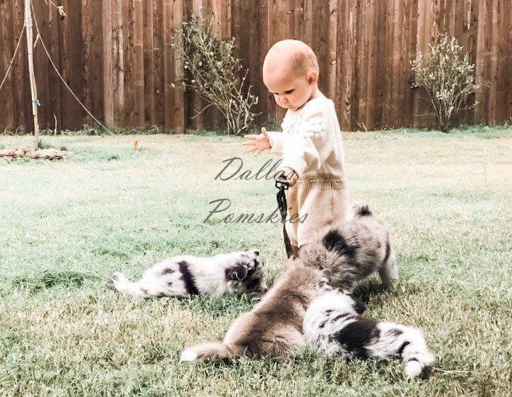 Tug of war with our little hooman❣️ . . #pomsky #pomskies #pomskys #pomskypuppy #pomskypuppies #pomskybreeder #dallaspomskies #merle #bluemerle #merlepomsky #husky #pomeranian #dogsofinstagram #dogsofig #puppies #puppiesofinstgram #dallas #tx #texas #merlepuppy #blueeyes #blueeyedpuppy #cuddle #puppiesforsale #pomskypuppiesforsale #woofwoof Tug of war with our little hooman❣️ . . #pomsky #pomskies #pomskys #pomskypuppy #pomskypuppies #pomskybreeder #dallaspomskies #merle #bluemerle #merlepomsky #husky #pomeranian #dogsofinstagram #dogsofig #puppies #puppiesofinstgram #dallas #tx #texas #merlepuppy #blueeyes #blueeyedpuppy #cuddle #puppiesforsale #pomskypuppiesforsale #woofwoof 119864826 1739033279576920 6800084636066740602 n